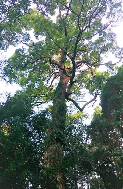 馬見神社の巨木