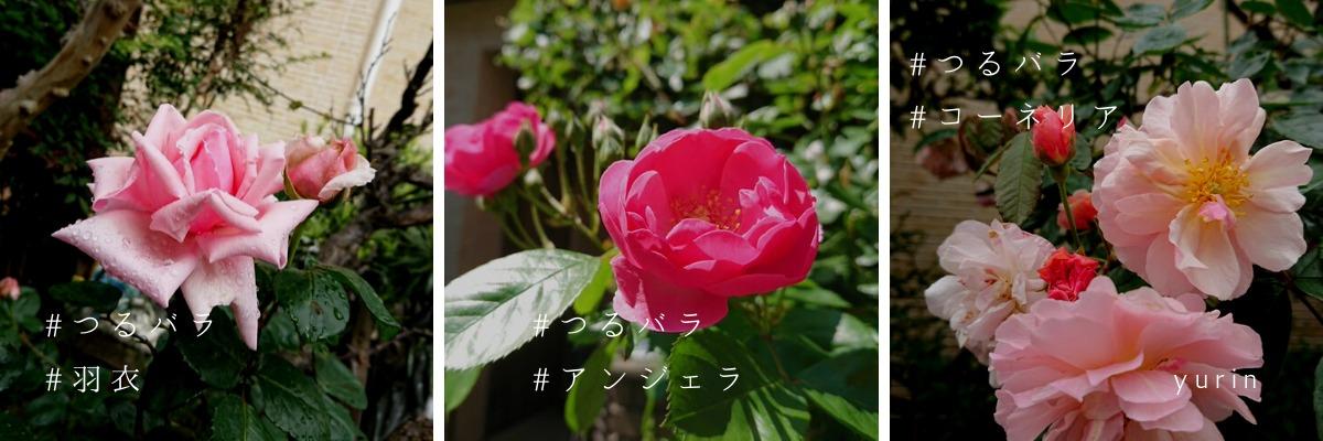 yurin-つるバラ